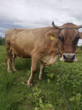 Vând vaca bună de lapte