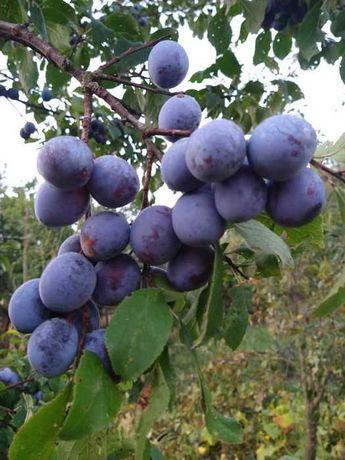 Vand prune Grase tuica  1,0 lei