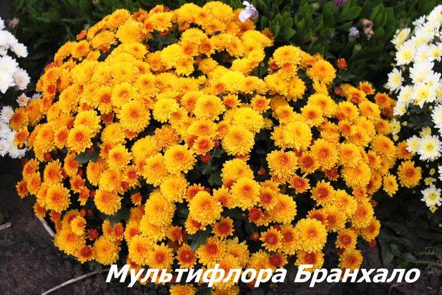 Хризантемы, хосты, астильбы.