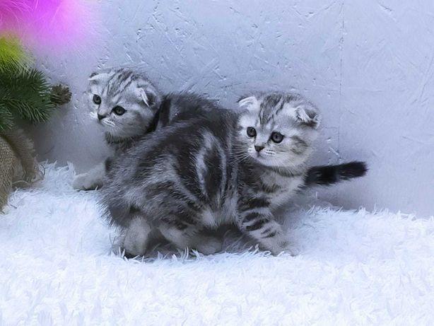 шотландские котята-кошечки