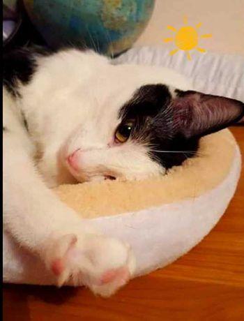 Pusa pisica alba castrata