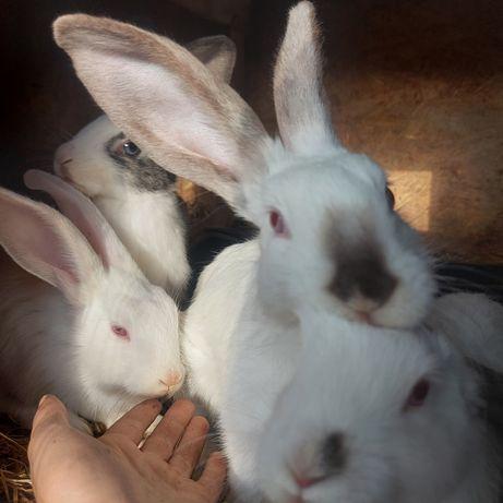 Продам крольчат помесь