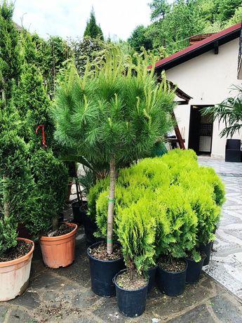 Pin mugo, ilex pom, artar, yucca, ienupar tarator, spirala, euonymus.