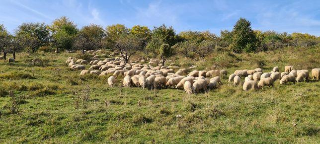 Vând 100 de oi pe ales din 170