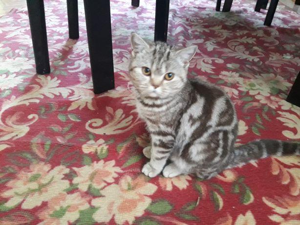 Продам британскую кошку