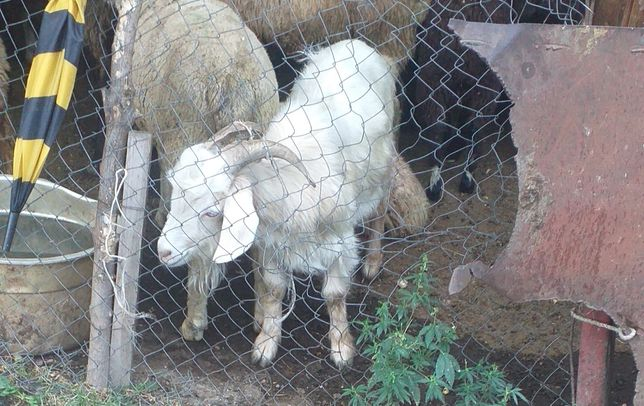Ешки сатам семиз 28000 тенге козы продам