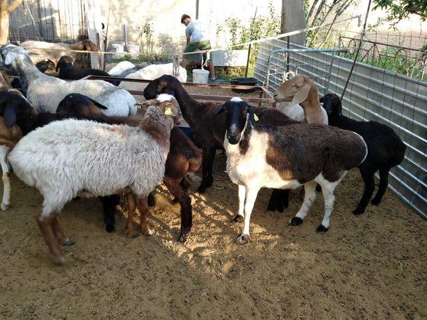 Қой, қозылы қой, ешк, 35-85 мың арасында