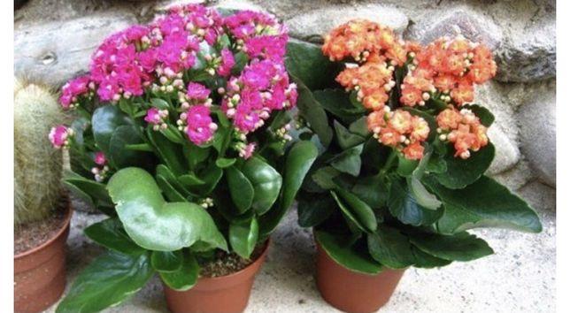 Каланхоэ комнатные цветы