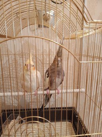 Продам Попугай Самка и Самец срочно Адам с Клеткой за 20000