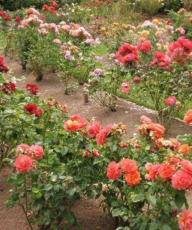 Butasi trandafiri!