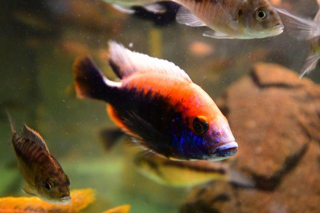 Pești acvariu ciclide africane