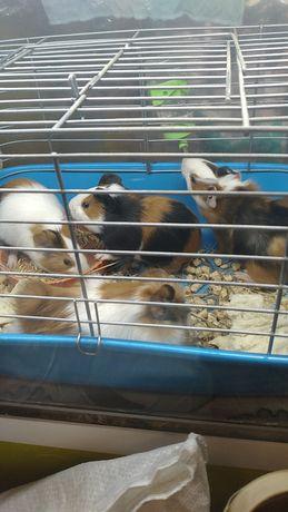 Морские свинки домашние