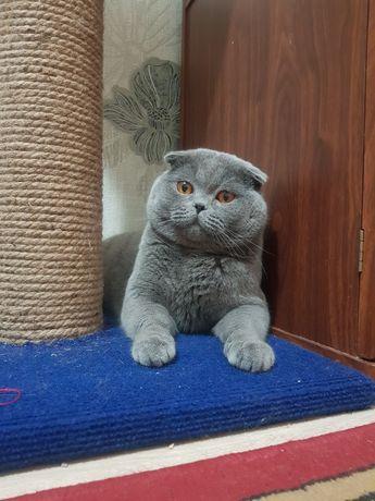 Кот для вязки шотландский веслоухии