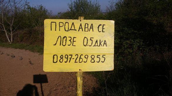 Продавам лозе в землището на с. Бенковски, общ. Аврен, обл. Варна