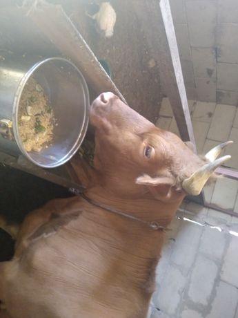 Продам корову сиыр сатам