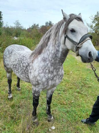 Vand cal castrat foarte blând