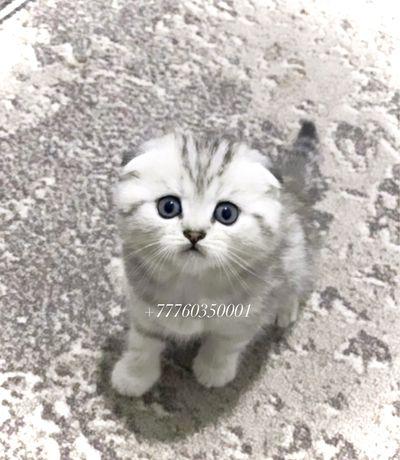 В продаже новый помет шотландских котят! Звоните!