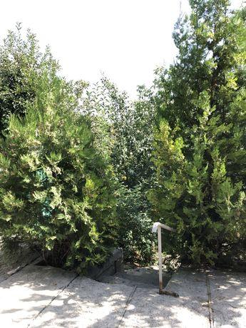 Продам дерево туя