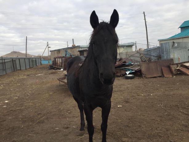 Продается лошадь для скачки(байге)
