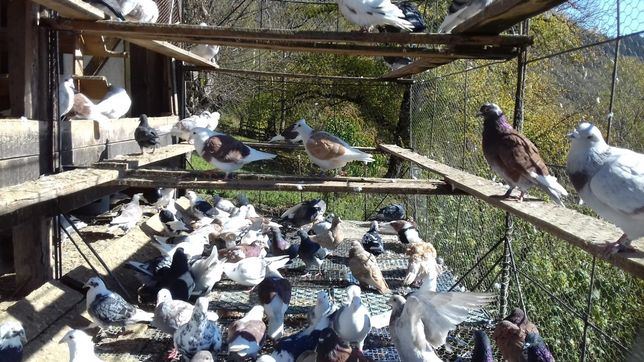 Vând porumbei voiajori colorati