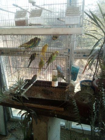 Porumbei albi, papagali,canari