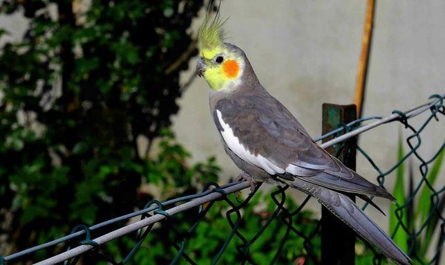 Попугай корелла ручной