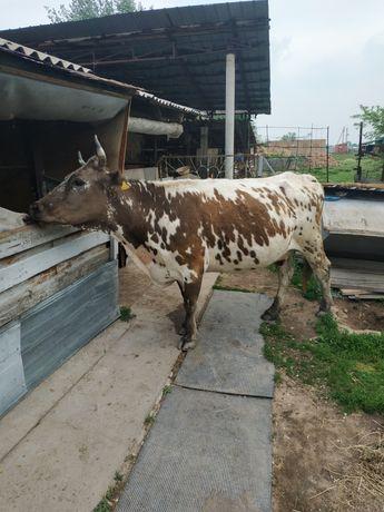 Корова корова корова