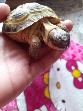 Черепаха сухопутная