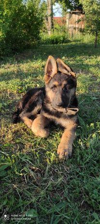 Продам щенка мать Вео отец немец
