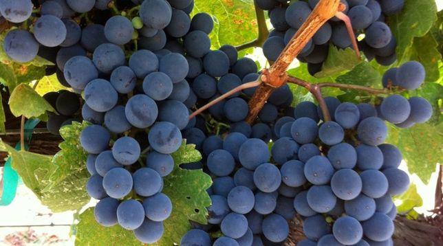 Struguri nobili pt.vin