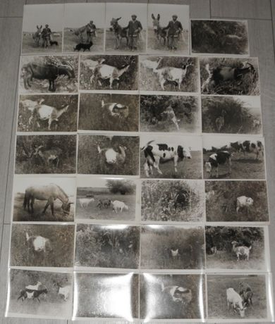 lot 50 fotografii,poze,fotografie alb negru peisaj rural,capre,cioban