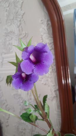 """Домашний цветок """"Тидея"""""""