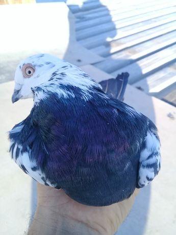 Продаю голубей бела головый.