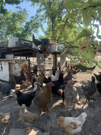 Куры, петухи,цыплята домашние Тауық,әтеш,балапан