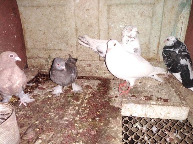 Продам голубей разных видов
