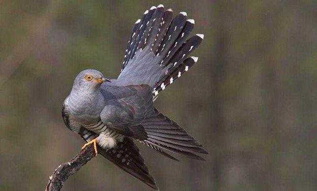Птица кукушка обыкновенная