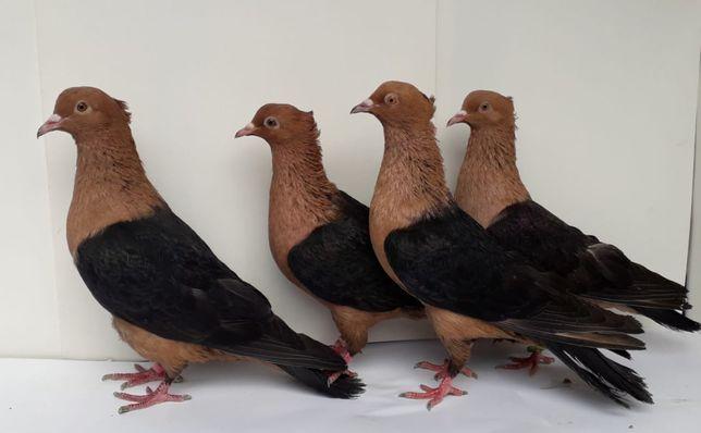 Продам голубей редкой породы.