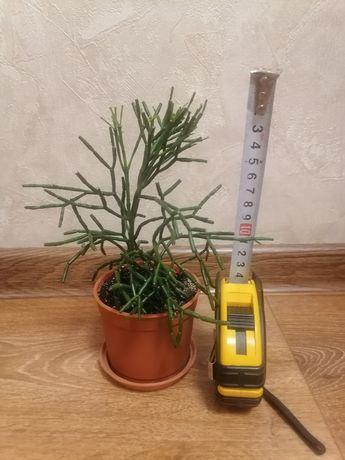 Продам растение Хатиора