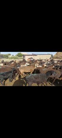 Жас Тусактар саулыктар сатылады 70 бас бир коранын малы Абай ауылы