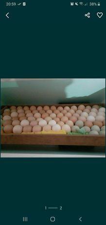 Яйца инкубационные крупных пород.