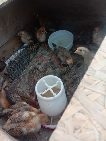 Продам цыплят кучинских юбилейных возраст 1 месяц