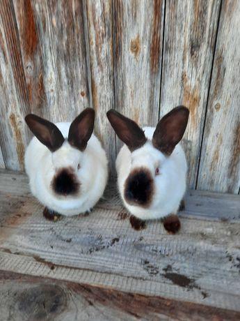 Vind iepurii californian