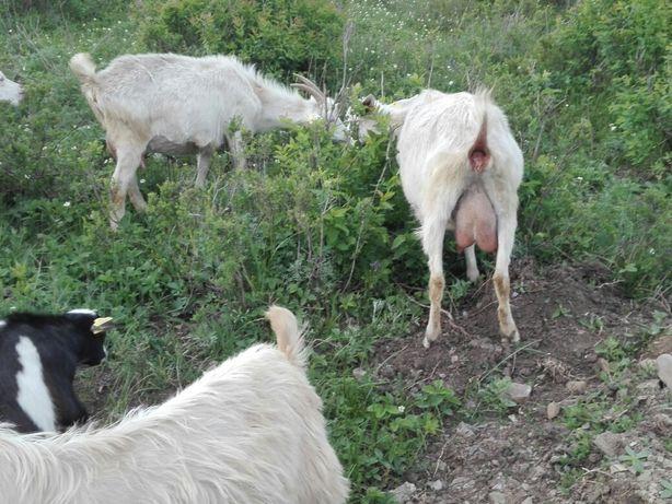 Продам дойных коз.