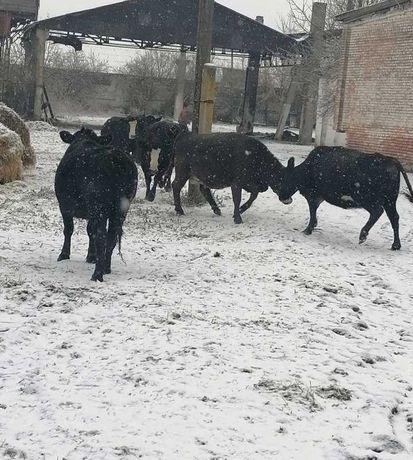 Продажа Крс акбас мал бузаулар корова бык Ангус буха букалар мал