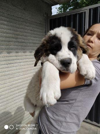 Потерялся щенок Сенбернар