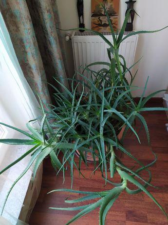 Aloe vera matura in ghiveci foarte mare, inaltime 1m30cm