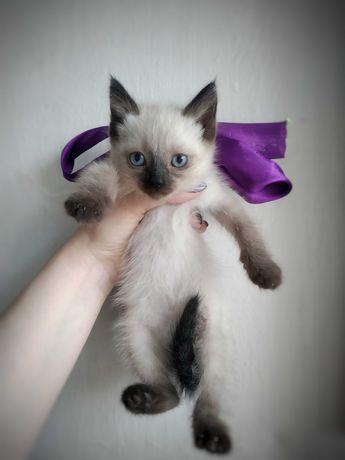 Котята сиамские отдам даром