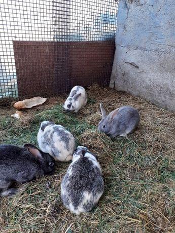 Vand iepuri de casa!!