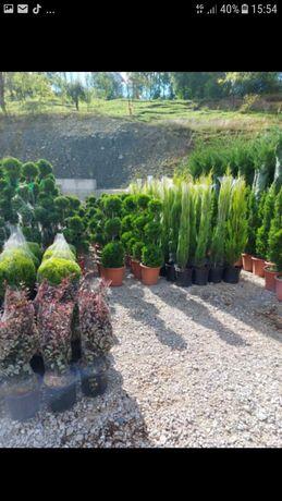 plante ornamentale calitatea 1 preț producător