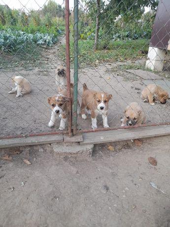 Vând 4 căței ciobănesc de Asia Centrală